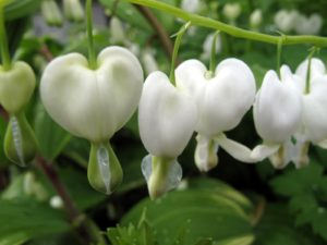 White bleeding hearts - These old-fashioned plants have puffy heart shaped flowers with little dripping tears.