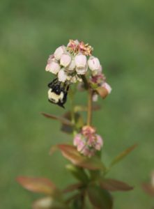 A very happy bumblebee