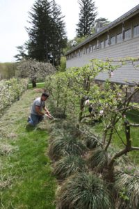 Wilmer and Phurba set out to trim back all the ornamental grass beneath the apple espalier.  Once trimmed, the grass will grow back neater.