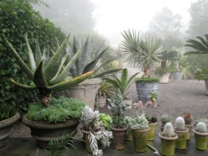 A giant aloe, succulents, and cacti
