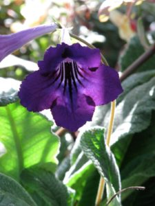 This blue streptocarpus flower attracts a type of harmful flying insect.  Thankfully, these flowers are clean.