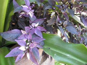 He explained that the flowers of this purple pepper attract beneficial insects into the garden.