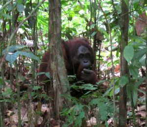 His name is King and he reigns over this region.  King is 35 to 40-years old and no other oran-utan dares to step in his path.