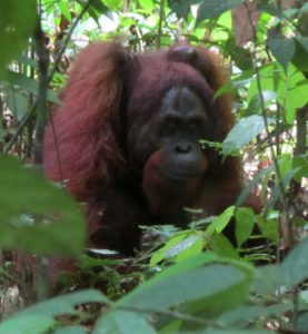 An oran-utan can live for about fifty years in the wild.
