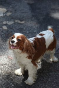One of Alex's Cavalier King Charles Spaniels