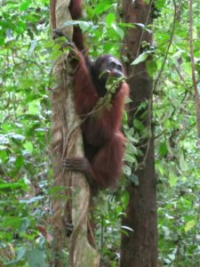 Unlike the human foot, the oran-utan has an opposable big toe, which is very useful when climbing.
