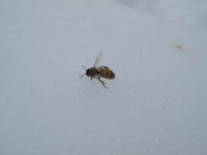 This honey bee has taken flight.