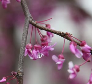 A water droplet suspended from a red bud bloom