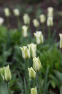White Viridiflora tulips - The term Viridiflora is derived from two Latin words: viridis meaning green and flos meaning flower.  All Viridiflora tulips have a streak of green somewhere on each petal.