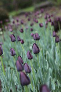 A deep purple tulip