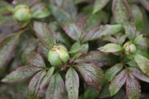 The herbaceous peonies are going to bloom much too early this year.