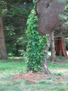 Oh no!  A tree covered with poison ivy!