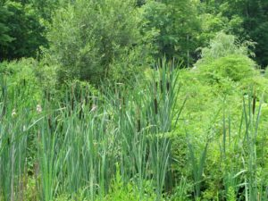 Cattails growing in the wetlands - This is a habitat for lots of wildlife.