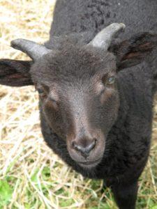 This little ram will grow an impressive set of horns.  When mature, he will weigh between 132-143 pounds.