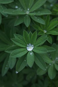 The lupines in the cutting garden catch water beautifully.