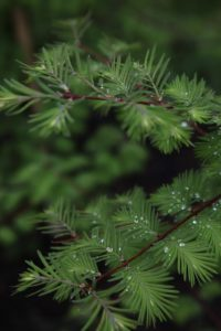 As do the feathery metasequoia trees - (Dawn redwood)
