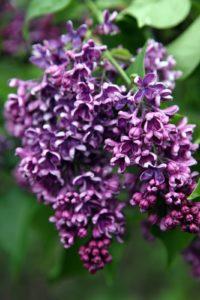 A lilac shade