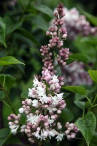 A pale pink variety