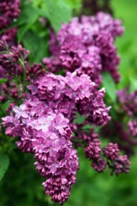 A brighter lilac shade