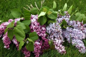 Fragrant lilacs for my home