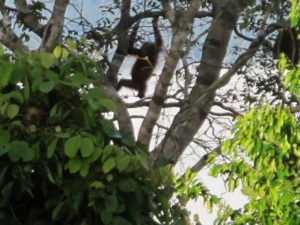 We felt so lucky to spot a child orang-utan with her mother.