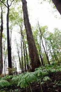 Podophyllum peltatum - commonly called Mayapple - another great woodland plant