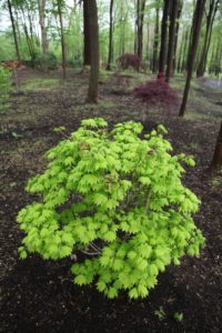 A Japanese maple with bright chartreuse leaves