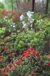 The azaleas are popping in the woodland garden.