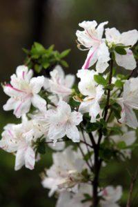 An amazing two-toned azalea