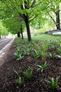 Beneath the allee of lindens, we have alliums growing along with Allegheny pachysandra and leatherwood ferns.
