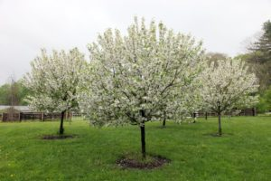 These are crab apple trees in full bloom.