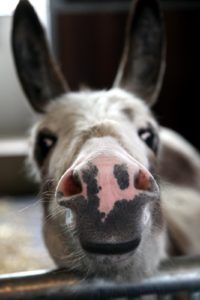 At this time of year the donkeys only are let outside for 3 to 4 hours each day.  The spring grass is very rich and donkeys eat it constantly.