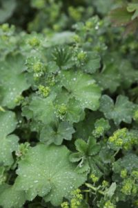 I really love Alchemilla vulgaris - lady's mantle - along garden borders.  The leaves are very efficient at collecting dew.