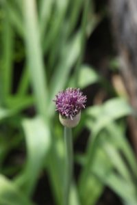 This is one of the hundreds of alium we planted last autumn.