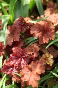 Huchera Peach Flambe - blinding orange-red in spring turning to peachy-plum in autumn