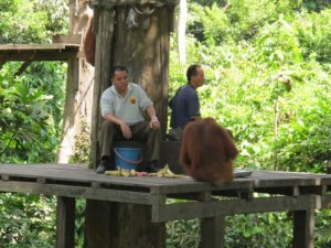 A better view - there are currently 60-80 orang-utans living at the center.