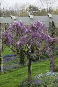 The wisteria is blooming along the pergola.