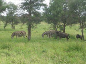 Zebras and wildebeests!