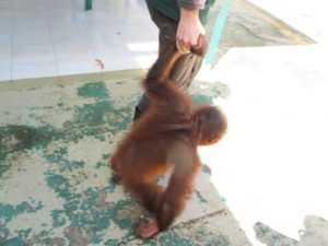 This orang-utan is about 3 years-old.