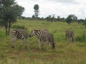 No two zebras are alike - the zebras in the park are Burchell's Zebras.