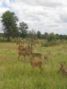 Hundreds of thousands of impala live in the parks.