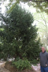 Comisac specializes in Norway Spruce - this one is 30-feet tall.
