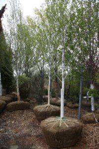 Jacquemonti birch