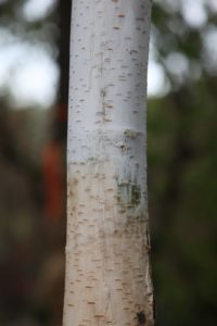 Beautiful white bark