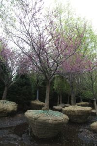 A nicely shaped redbud