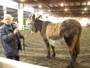 A very unusual long-haired donkey called a baudet du Poitou from France. This woman is preserving these rare animals on her farm in Hartland, Vermont.