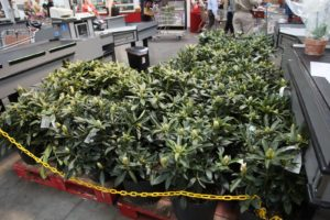 I was very impressed with the nursery stock at Costco  Here are beautiful rhododendrons.