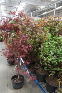 And a nice selection of Japanese maples