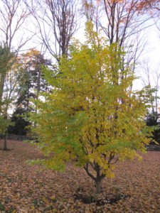 This little tree seems hesitant to give up its green.  By the way, it's a Persian parrotia - a relative of witch hazel.