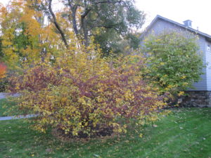 As the leaves drop from the crab apple trees, you can see that they are laden with fruit.